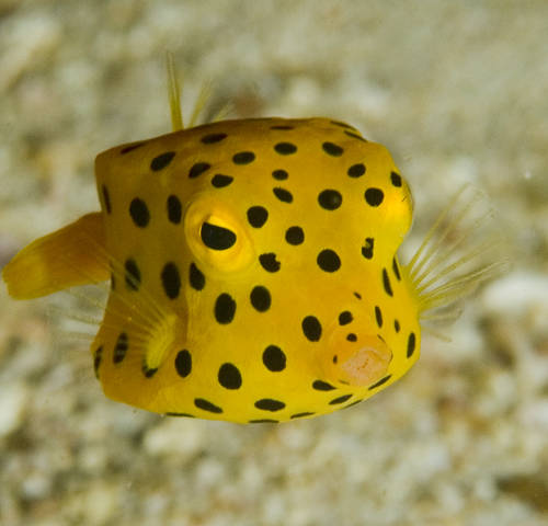 Boxfish could inspire improvements in body armour