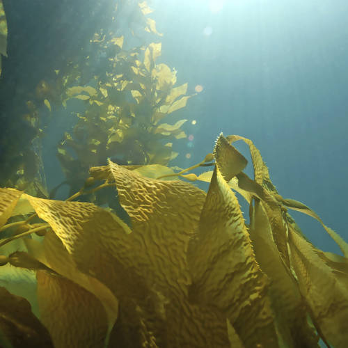 Researchers develop algae as possible alternative energy source