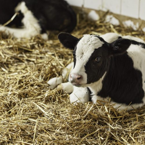 CRISPR technology used to develop Tuberculosis-resistant cows
