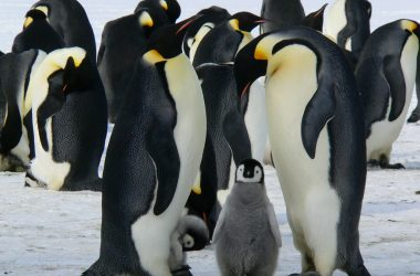 engineering careers  World Penguin Day 2017: How Engineering combined with 'people power'