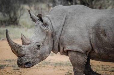 engineering careers  Pembient believes Biotech can Save the Rhino.