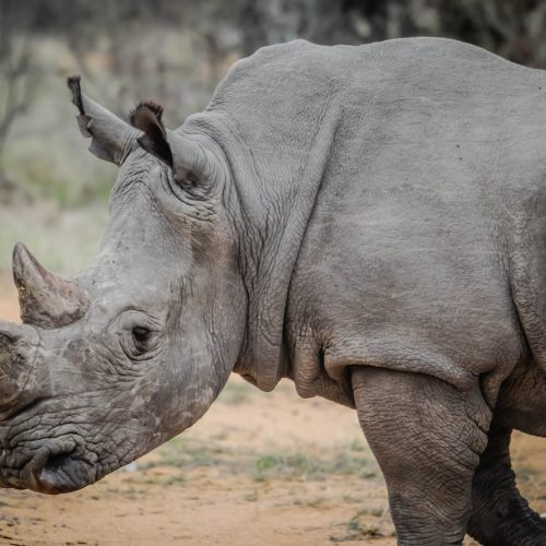 Pembient believes Biotech can Save the Rhino.