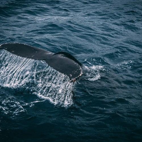 Drones help free whales from ocean debris