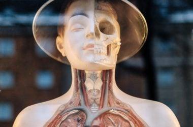 engineering careers  Bioengineered Lungs Grown in a Lab Transplanted Into Pigs